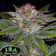 TGA Subcool Seeds Deep Purple