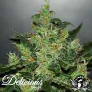 Delicious Seeds AUTO Critical Jack Herer