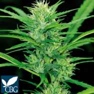 Cannabiogen Seeds Destroyer
