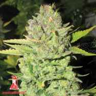 Medical Seeds Devil Fruit