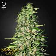 Green House Seeds Diamond Girl