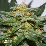 Garden of Green Seeds Diesel Berry Cough