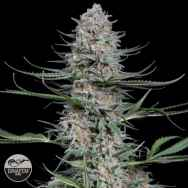 Dinafem Seeds Quick Critical +