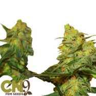 CH9 Seeds Dirty White Bud x Train Wreck