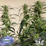 Flash Autoflowering Seeds Doctor Shiva SuperAuto F1