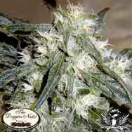 The Doggies Nuts Seeds White Widow #1