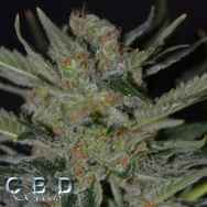 CBD Seeds Domina