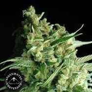 Sagarmatha Seeds Double Bubbleberry