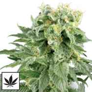 White Label Seeds Double Gum AKA Blueberry