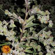 Barneys Farm Seeds Dr Grinspoon