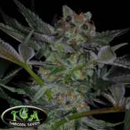TGA Subcool Seeds Dr Who