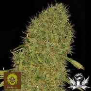 Dready Seeds White Jack
