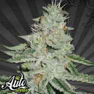 Auto Seeds Dreamberry