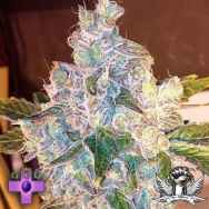 Gage Green Seeds Duende
