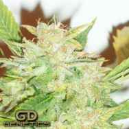 Green Devil Seeds Durweiss