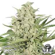 Dutch Passion Seeds Dutch Cheese
