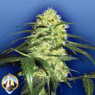 Flying Dutchmen Seeds Dutch Delight