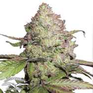Dutch Passion Seeds CBD AUTO Charlotte's Angel