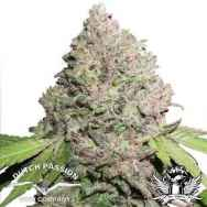 Dutch Passion Seeds CBD Charlotte's Angel
