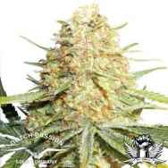 Dutch Passion Seeds Lemon Zkittle