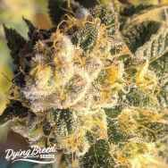 Dying Breed Seeds OZ #6