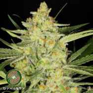 Dynasty Genetics Seeds Divina Obscura (Charlotte's Web x Ms.Universe)