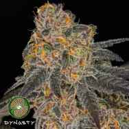 Dynasty Genetics Seeds Cherry Vanilla Cookies