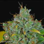 Dynasty Genetics Seeds Sour Peach Cobbler