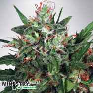 Ministry of Cannabis Early XXX