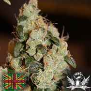 Connoisseur Genetics Seeds East Coast Sour Diesel Haze