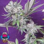 Dank Genetics Seeds East Coast Fire