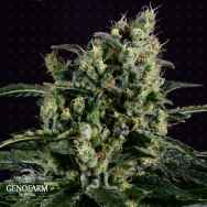 Genofarm Seeds Easy Haze