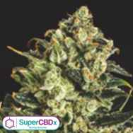 SuperCBDx Seeds Emerald Jack x SCBDX