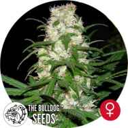 The Bulldog Seeds Energy Haze