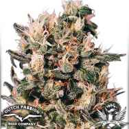 Dutch Passion Seeds Euforia
