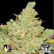 Lady Sativa Genetics Seeds Exodus Fuel