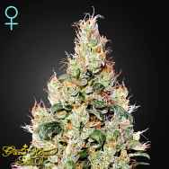 Green House Seeds Exodus Cheese AUTO CBD
