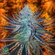 Exotic Genetix Seeds Extreme Orange