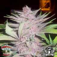 Hazeman Seeds Fat Purple