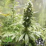 Female Seeds Neville's Haze