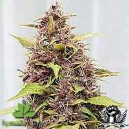 Female Seeds Purple Power