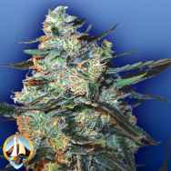 Flying Dutchmen Seeds Feminized Mix
