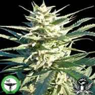 Finest Medicinal Seeds Citrus Skunk