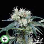 Finest Medicinal Seeds Northern Lights 5 Haze