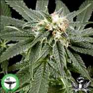 Finest Medicinal Seeds Peace Maker