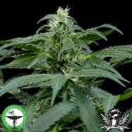 Finest Medicinal Seeds Skunk NL