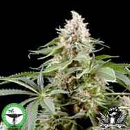Finest Medicinal Seeds White Rhino