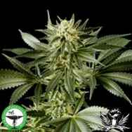 Finest Medicinal Seeds White Widow
