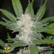 Reeferman Seeds Fire OG Kush