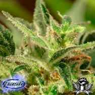 Flash Autoflowering Seeds Tutti Frutti